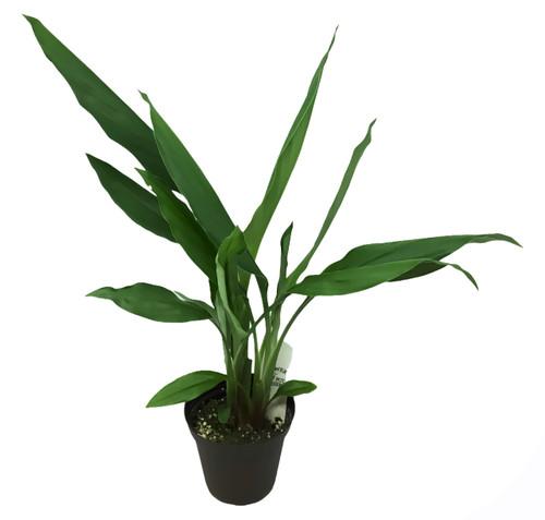 "FlowerPotNursery Siam Tulip Sparkling Curcuma alismatifolia S. Sparkling 4"" Pot"