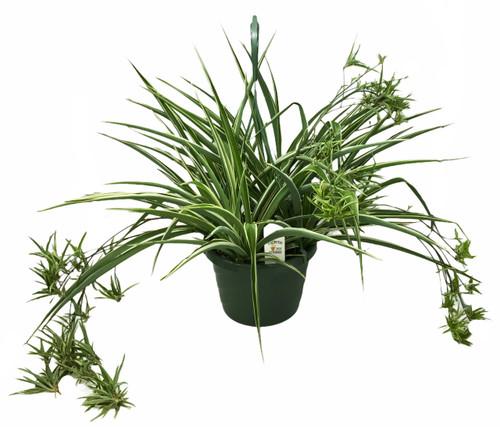 "FlowerPotNursery Irish Spider Plant Chlorophytum comosum Irish 10"" Basket"