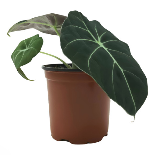 """FlowerPotNursery Black Velvet Alocasia Alocasia reginula Black Velvet 4"""" Pot"""