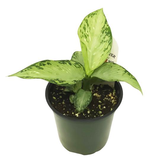 "FlowerPotNursery Chinese Evergreen Aglaonema sp. 4"" Pot"