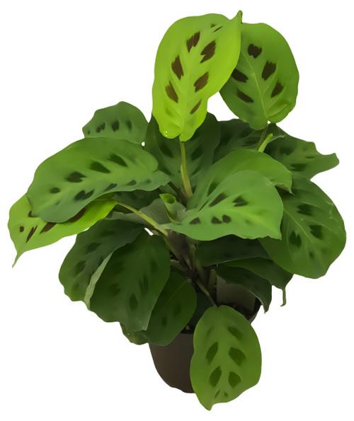 """FlowerPotNursery Prayer Plant Maranta leuconeura 4"""" Pot"""