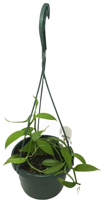 """FlowerPotNursery Green Vanilla Orchid Vanilla planifolia 6"""" Basket"""