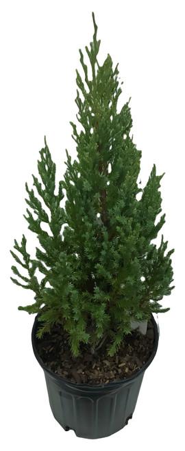 FlowerPotNursery Blue Point Juniper Juniperus chinensis Blue Point 1 Gallon Pot