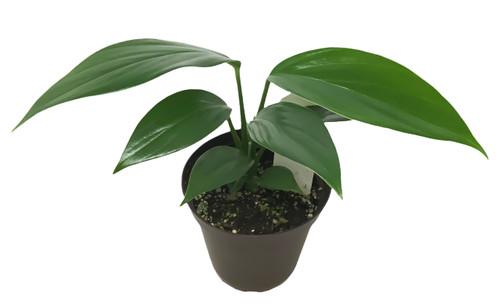 "FlowerPotNursery Dragon Tail Plant Epipremnum pinnatum 4"" Pot"