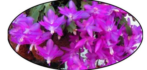 "FlowerPotNursery Christmas Cactus Schlumbergera bridgesii Lavender 8"" Basket"