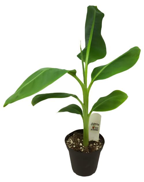 "FlowerPotNursery Dwarf Cavendish Banana Tree Musa acuminata 4"" Pot"