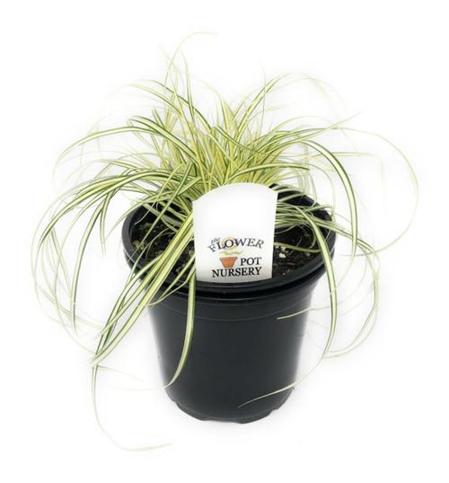 Carex oshimensis /'Everillo/' Japanese Sedge 9cm pot evergreen winter colour