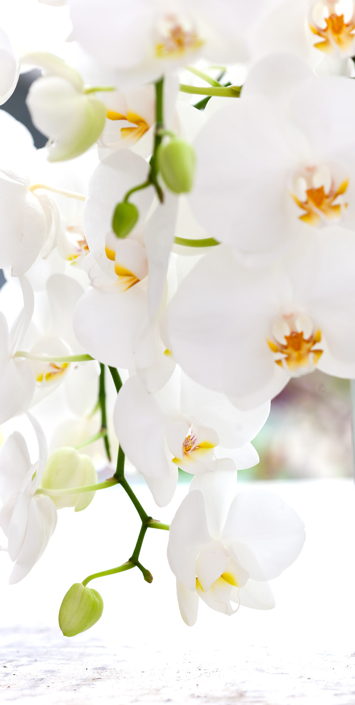 phal-orchid-care.jpg