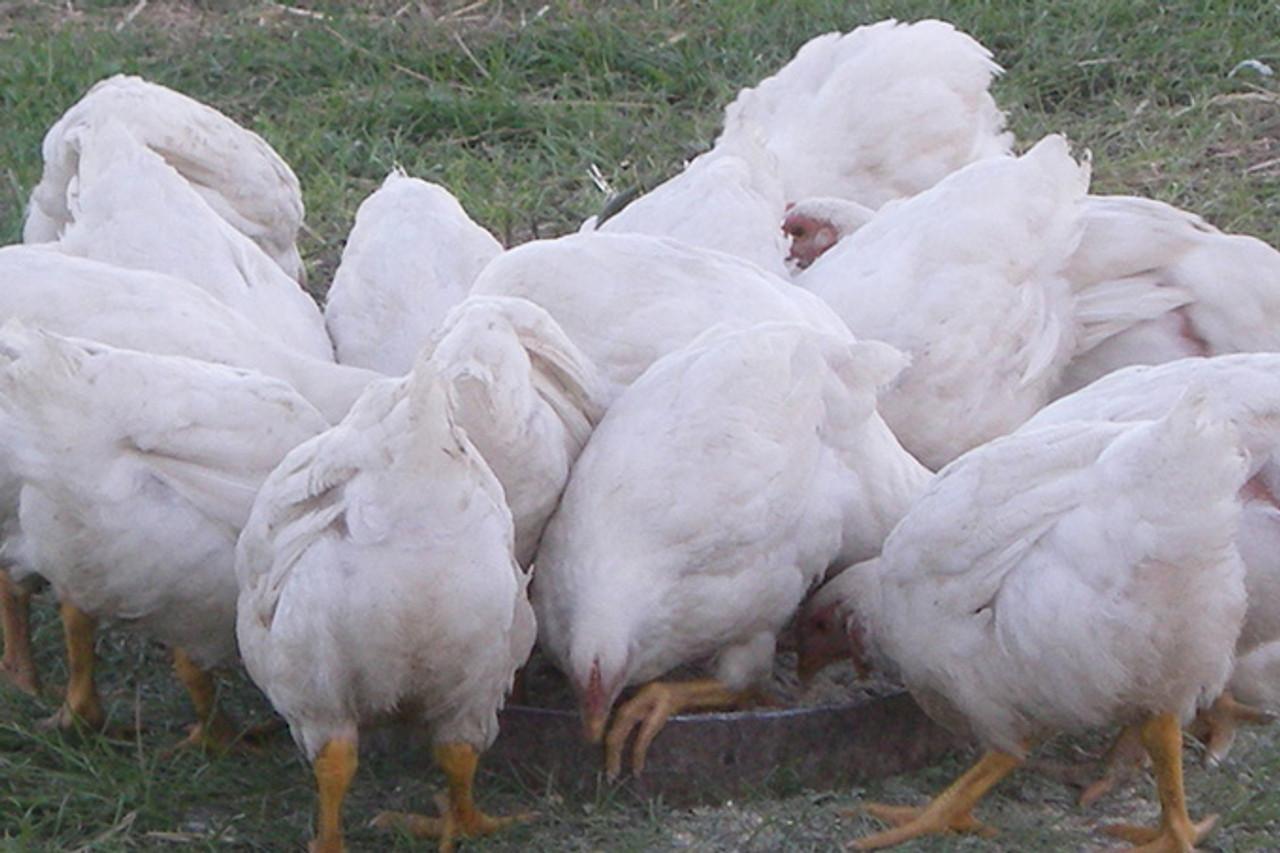 Turkeys Eating