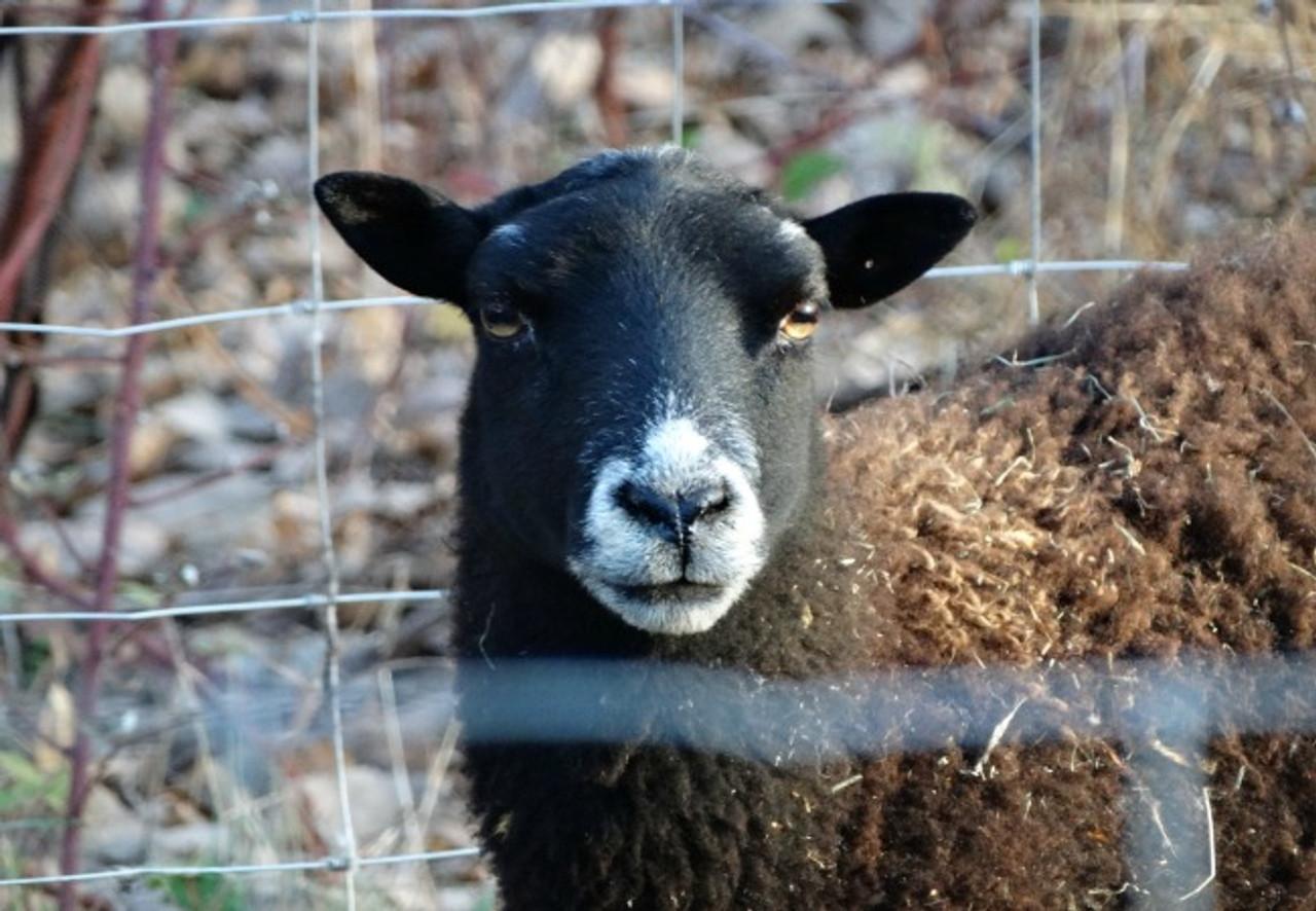 Lamb Udhaya/Qurbani- OPTION 1: DO THE PROCESSING OF ANIMAL YOURSELF- Deposit
