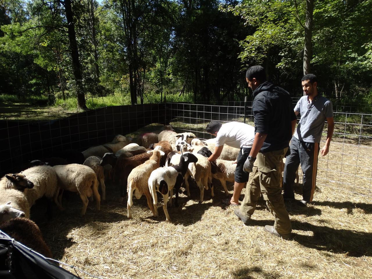 Lamb Udhaya/Qurbani- OPTION 2- HP TO CUT ANIMAL INTO 4 PEICES- Deposit