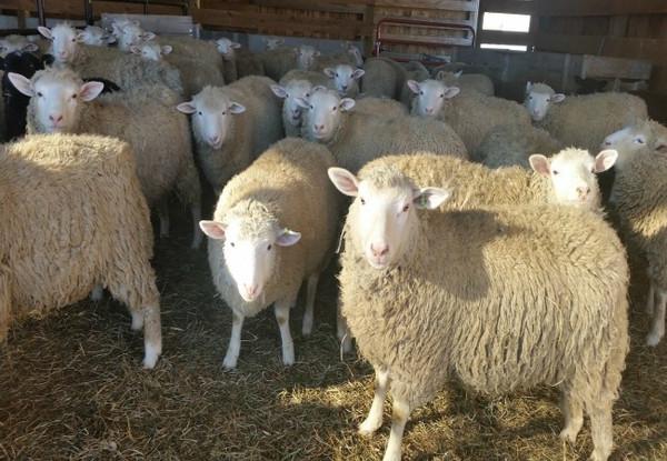Lamb Udhaya/Qurbani- OPTION 2- HP TO PROCESS ANIMAL- Deposit