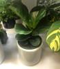 "6"" Fiddle Leaf Fig - $20-$26"