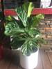 "10"" Fiddle Leaf Fig - $72"