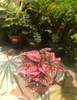 "4"" Pink Polka Dot Plant - $6"