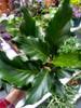 """6"""" Anthurium Plowmanii"""
