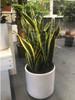 "10"" Laurentii Snake Plant"