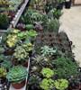 """Succulents - 2"""", 4"""", 6"""", 8"""" & Up"""