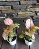 "4"" Strawberry Cream Syngonium"