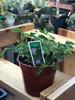 "4"" Sensitive plant/mimosa pudica"