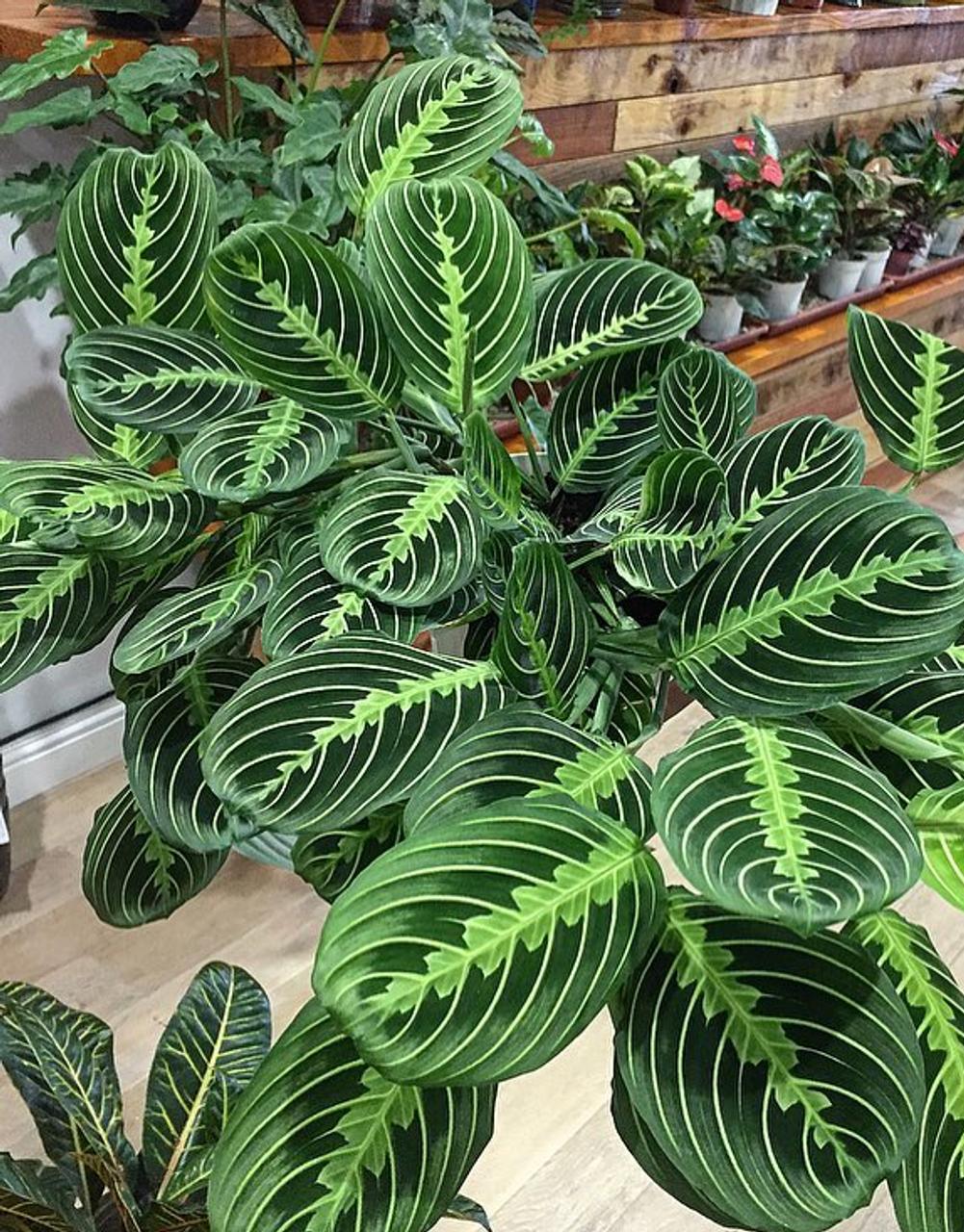 10 Unbelievable Patterned Variegated Indoor Plants - Prayer Plant
