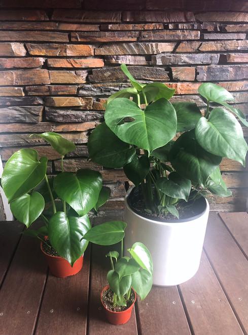 """4"""", 6"""", 10"""" Monstera Split Leaf"""