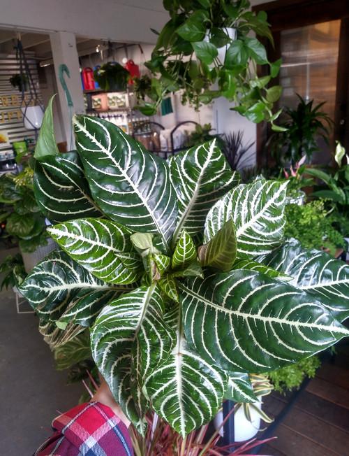 "6"" Zebra Plant"