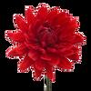 Dahlia 5 stem bunch