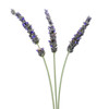 English Lavendar- 20 Single Stems