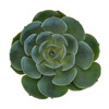 Cut Succulents-5 Single Stems