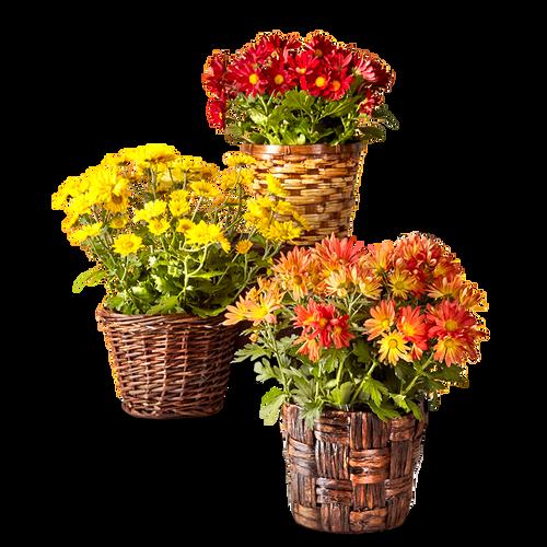 Bright Harvest Mum Plant Collection (3 Plants)
