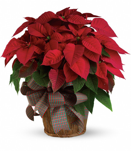 Triple Red Poinsettia