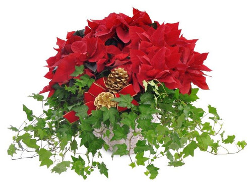 Poinsettia and Ivy Garden Basket
