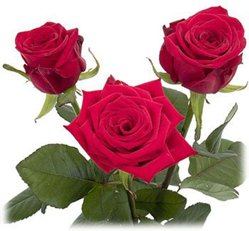 Roses - Ecuadorian Large Head 25 Stem Bunch  LOCAL/MPLS DELIVERY ONLY