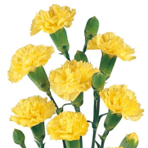 Mini Carnations 10 Stem Bunch