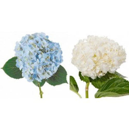 Hydrangea 10 Stem Minimum  MSP DELIVERY ONLY