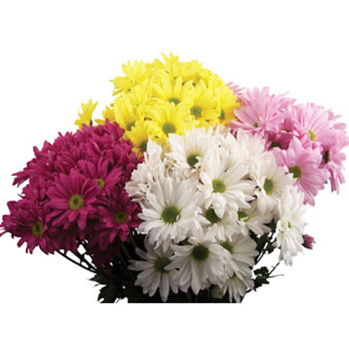 Daisy Mums 5 Stem Per Bunch Minimum