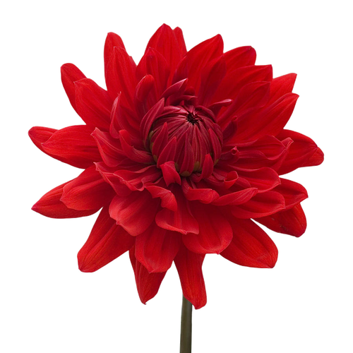Dahlia 5 stem bunch