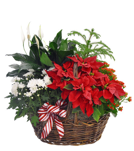 Blooming  Poinsettia Basket