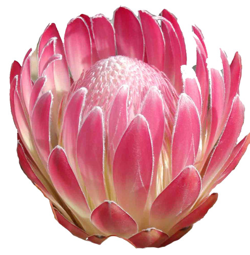 Mink Protea- Single Stem  LOCAL/MPLS DELIVERY ONLY