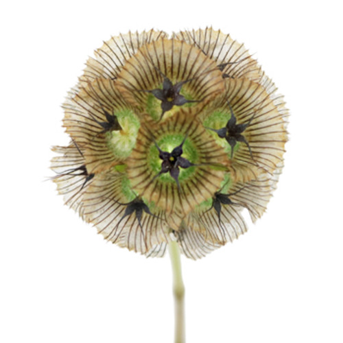 Scabiosa Pods - 20 Single Stems  LOCAL/MPLS DELIVERY ONLY