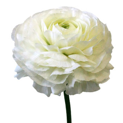 Ranunculus- 10 Single Stems  LOCAL/MPLS DELIVERY ONLY