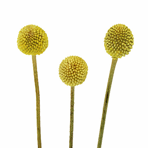 Craspedia Billy Balls  - 20 Single Stems