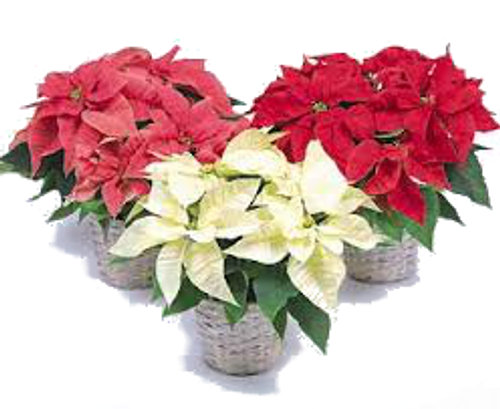 Poinsettia Plant ~ Your Way!~
