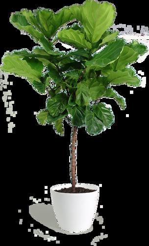 Fiddle Leaf Floor Plant