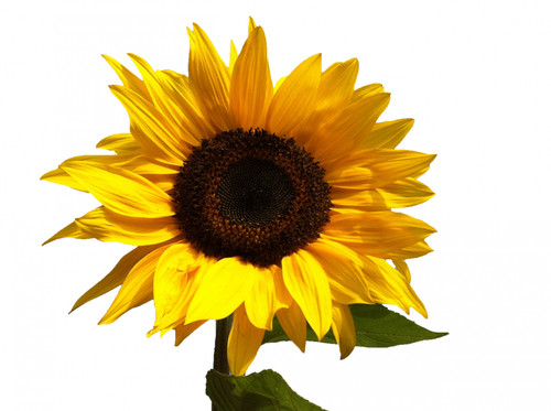 Sunflower Medium Size  - 5 Stems Bunch LOCAL/MPLS DELIVERY ONLY
