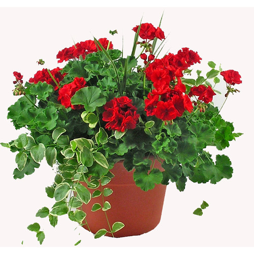 """12""""  Outdoor  RED Geranium Patio Pot  