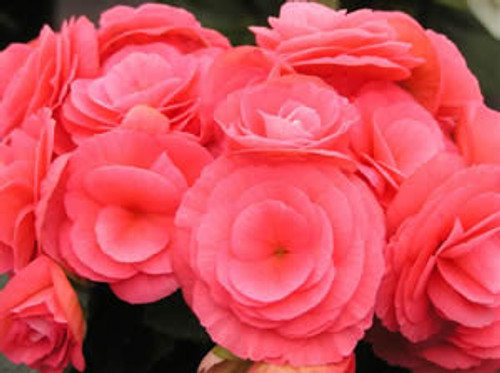 """12.5""""  Outdoor Mixed Begonia  Hanging Baskets  