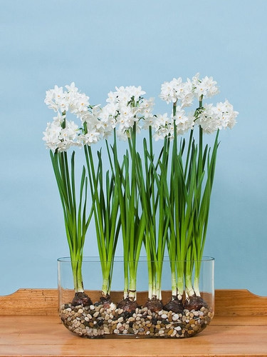 Paperwhite Blubs ~ Custom Made Bulb Gardens