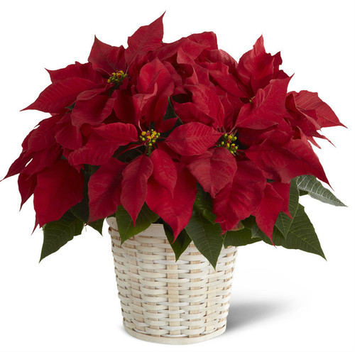 Single Red Poinsettia Basket